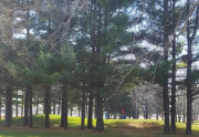 Pines on the Golf Course